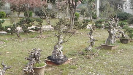 我家的树桩盆景
