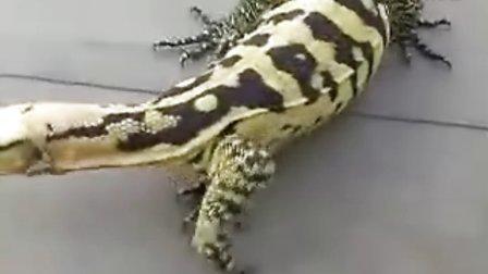 逗金头泽巨蜥