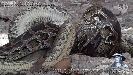 实拍:蛇吃蛇过程www.bt520.com.cn