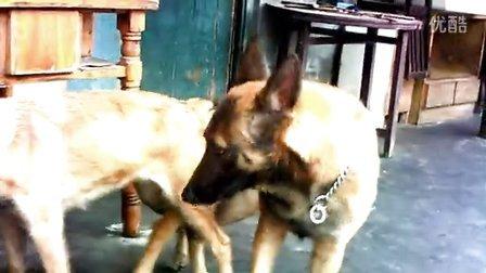 母马犬同同、公马犬海盗——配种视频