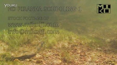 水底高清拍摄野生状态下的黑斑水虎