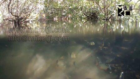 水下拍摄水虎鱼进食