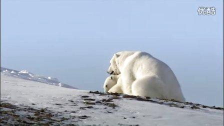 【大千世界】北极熊的求偶过程