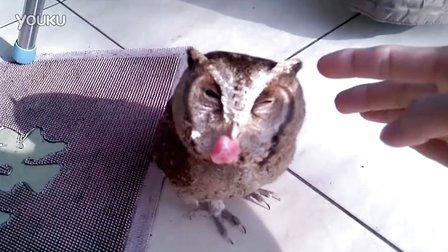 猫头鹰吃肉