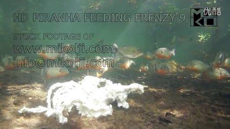 在野外拍摄到的大群水虎鱼进食