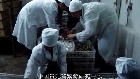 贵妃鸡养殖技术-贵妃鸡苗视频