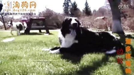边牧多少钱一只|边境牧羊犬犬视频-淘狗网