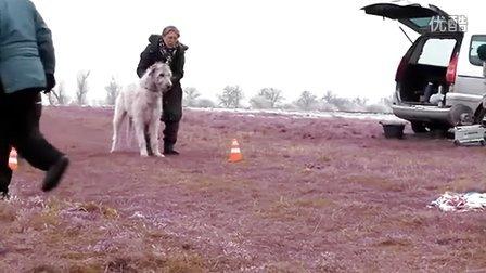 大丹 爱尔兰猎狼犬  赛跑