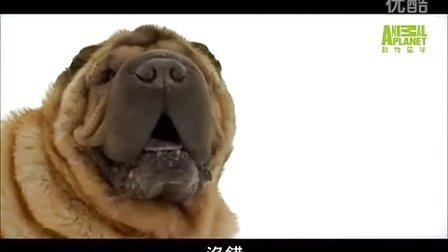 【邦邦】[名犬大全] 狗狗101---沙皮狗