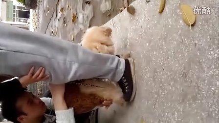泰迪母狗交配过程