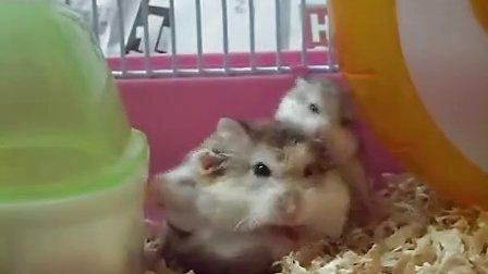 见过找奶喝的小仓鼠吗?上海保安公司www.shsbba.com