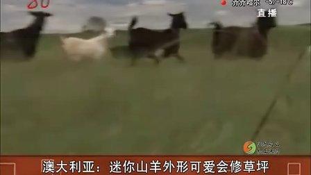 澳大利亚:迷你山羊外形可爱会修草坪[共度晨光]