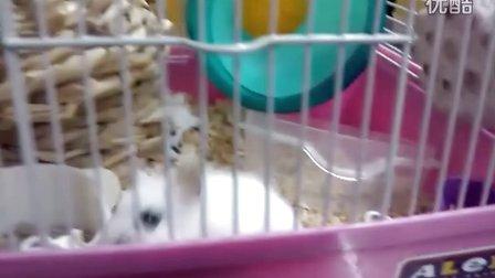 仓鼠滚滚 咬笼子
