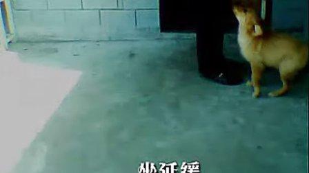 什么是金毛犬,金毛犬怎么区分(www.jmakc.com)北京金毛犬舍
