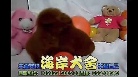 广州哪里有出纯种的泰迪幼犬  泰迪犬多少钱 茶杯泰迪 哪里有 价格多少