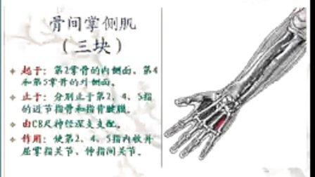 运动2-5指的肌肉解剖