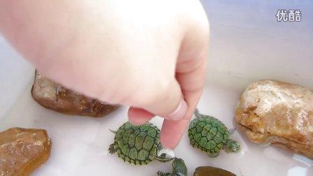 我的小宠物-乌龟---给小巴西龟喂食
