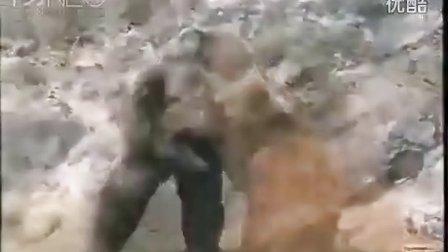实拍:大灰熊大战黑猩猩