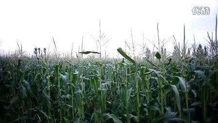 宁夏基地玉米