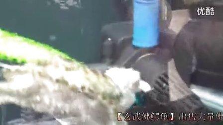 最大鳄鱼龟_鳄鱼龟生蛋_佛鳄龟的养殖【玄武佛鳄龟】