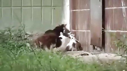 老鼠单挑4只猫!(yony淘金者网站:http://blog.sina.com.cn/yonglg)