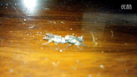 自拍苍蝇抢食尾声
