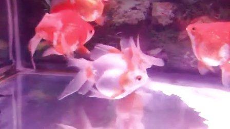 金鱼-鎏金