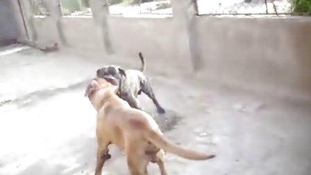 王黎明发狗打架视频