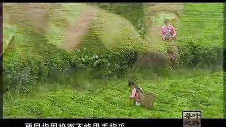 茶叶之路A03 心馨茶园 铁观音