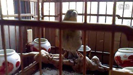 兰州麻料鸟