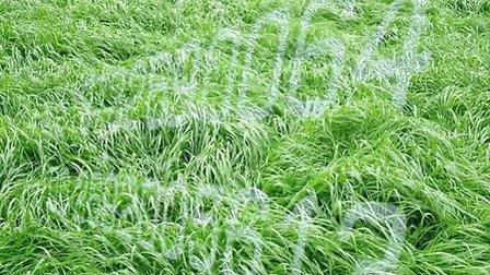 供应黑麦草种子  黑麦草养殖牛  牧草养殖 黑麦草种子多少钱一斤