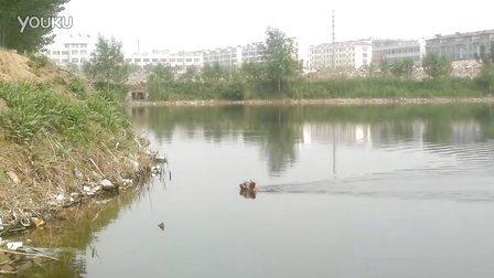 小狗游泳被淹死