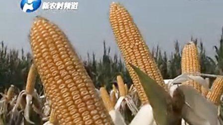 秋乐种业玉米系列品种观摩会焦作孟州举办