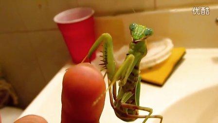 格里芬螳螂展示1