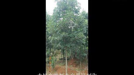 桂花树种植视频图片