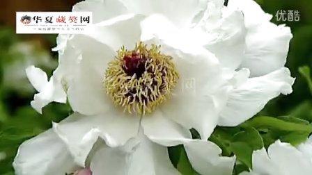 濮阳尚氏藏獒之传奇--华夏藏獒网