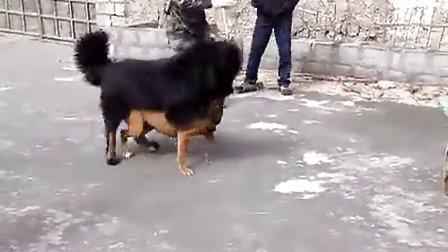 比特犬藏獒打架视频