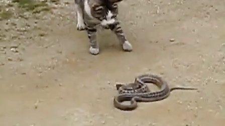 youtube上浏览过百万的猫蛇大战!不可错过呦!
