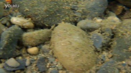 台灣吻蝦虎(Rhinogobius formosanus)