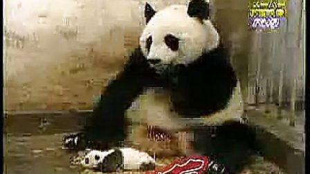 熊猫受到惊吓时的反应