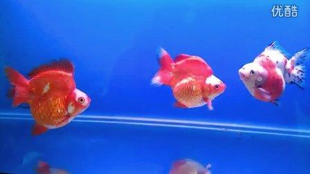 15公分大鎏金-鱼乐金鱼