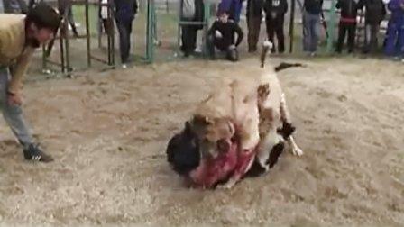 实拍猎狼犬打斗比赛激烈现场