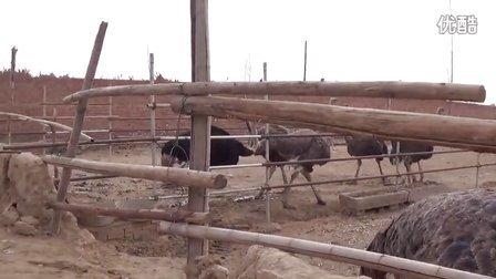 唐县南屯村驼鸟养殖厂