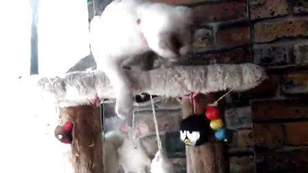 阳台----暹罗多多,玩疯了---玩具太多啦!