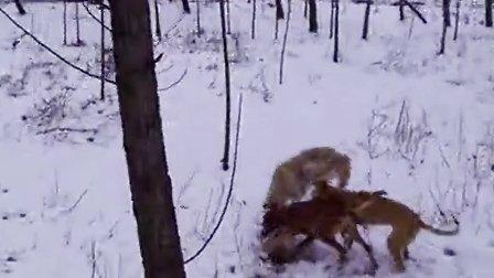 细狗咬狗-苏俄猎狼犬