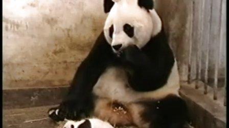 小熊猫打喷嚏 把它妈都给雷到了……