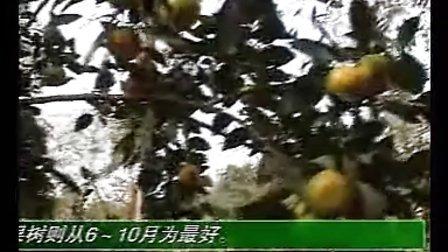 果树嫁接技术大全视频 下集
