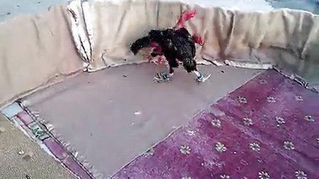 越南斗鸡高速电风扇4