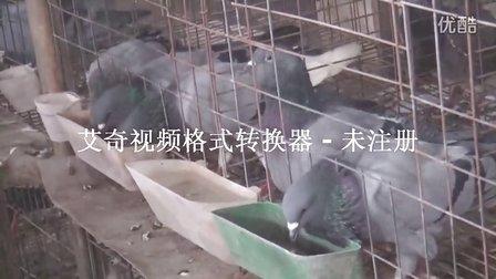 种鸽养殖场(2012年10月28) 手机13561220981