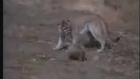 猪獾无畏挑衅狮子